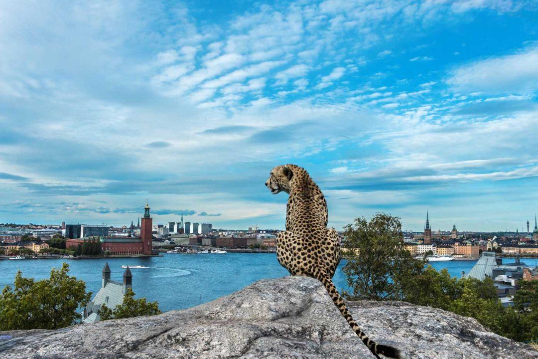 En gepard i Stockholm